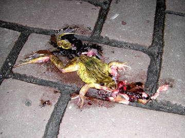 Een platgereden bruine kikker die al zijn ingewanden uitgebraakt heeft